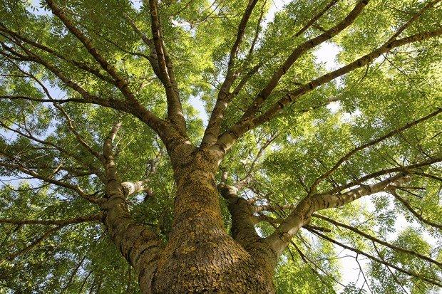 ash tree in UK